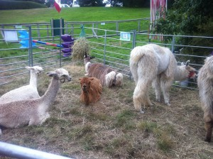 Llamas and alpacas in The Ambient Forest